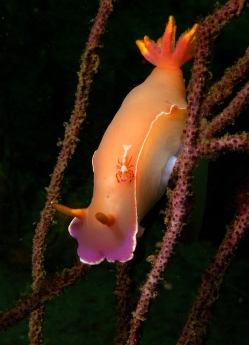 hypselodoris bullocki