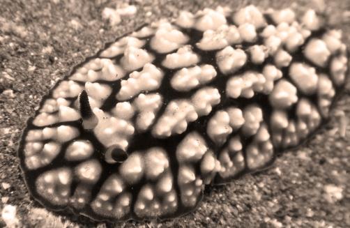phyllidia pustolosa