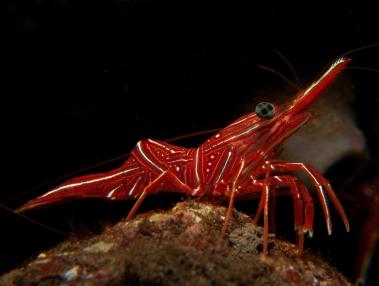 hinge beaked shrimp
