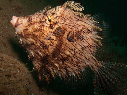 lacy filefish