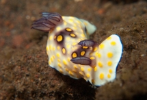 chromodoris hintuanensis
