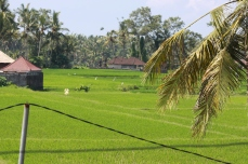 rice paddy on Bali