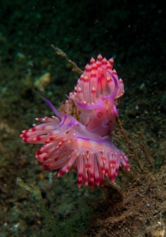 flabellina exoptata look like flamenco dancers!