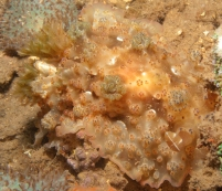 tuberculose dendrodoris very difficult because it was so big and a sandstorm was circling around it