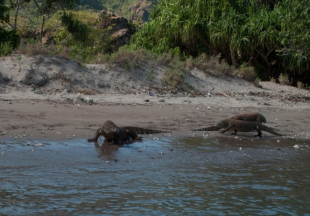 my favorite wildlife in Komodo, the Komodo dragon on a lovely beach that we were moored at for two days
