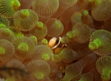 anemone fish in bubble anemone