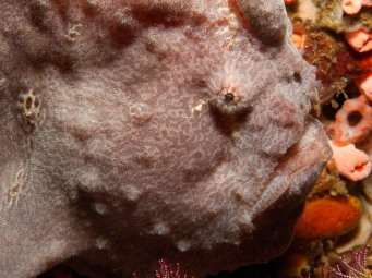 giant frogfish on Cannibal Rock
