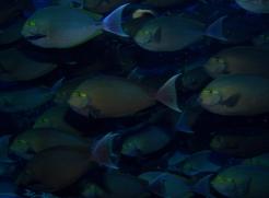 school of surgeon fish