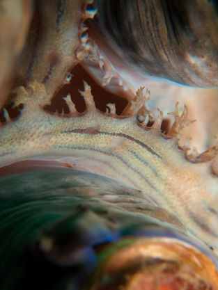 giant clam abstract