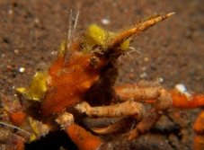 decorator crab out at night