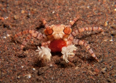 boxer crab with eggs