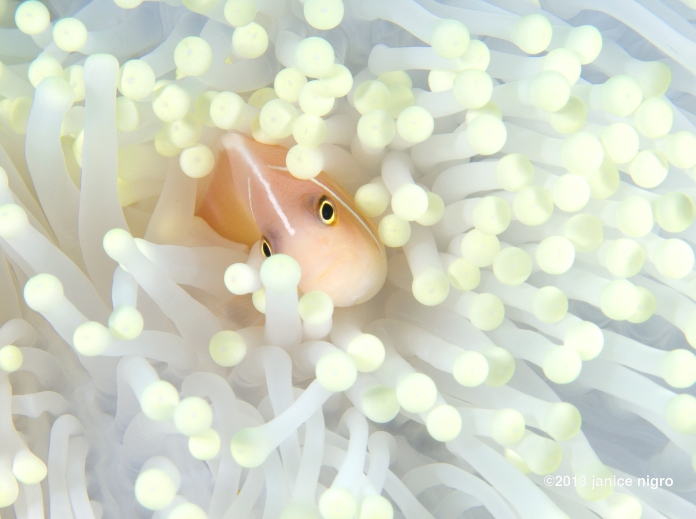 skunk anemonefish in a bleached anemone pretty much a blow out nightmare to take a photo of!