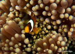 number 14 clark's anemone fish in a corallomorph
