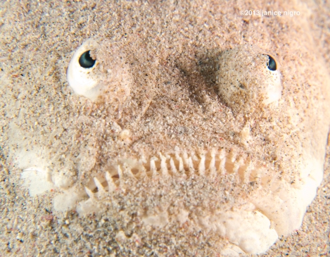 stargazer it has a body but it is buried in the sand so the face is always looking up to the stars! you have to watch where you put your fingers! my first time seeing one ever!