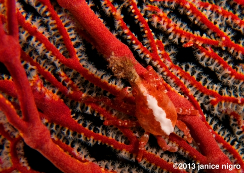 xenocrab on a sea fan at night