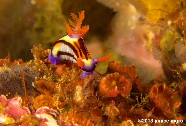 looks like a baby lined nembrotha. the night before we could not find one of the giant Spanish dancer nudibranchs and instead on a big wall of corals Frengki found this tiny nudibranch