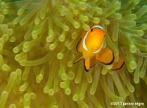 false clown fish in anemone