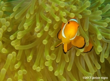 false clown fish in anemone