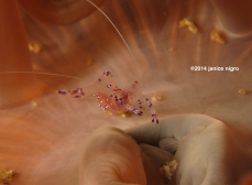 anemone shrimp 27012014 copyright