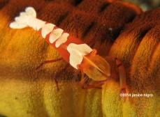emperor shrimp copyright