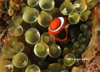 juvenile anemone fish copyright