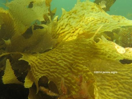 tasmania kelp copyright