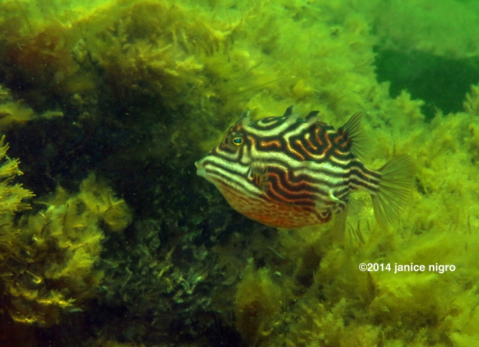 tasmanian cowfish copyright