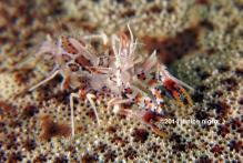 tiger shrimp copyright