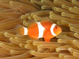 anemone fish 7881 copyright