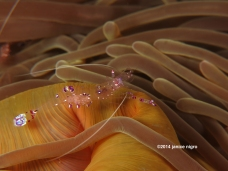 anemone shrimp 27012014 3 copyright