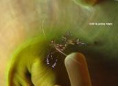 anemone shrimp copyright