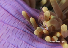 anemone shrimp on blue anemone copyright