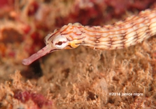 another ordinary pipefish copyright
