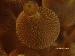 bubble anemone copyright