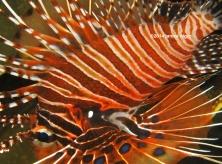 lionfish 4000 copyright