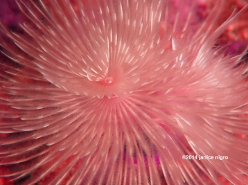 red feather worm 6810 copyright