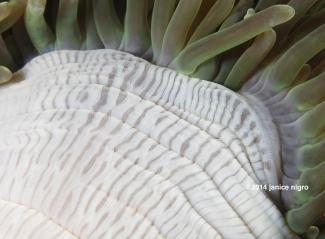 white anemone copyright