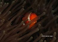 anemone fish 27012014 copyright