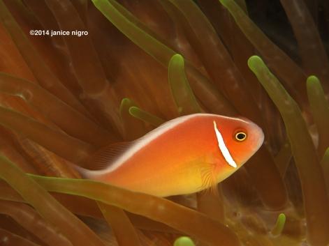 anemone fish M 6767 copyright