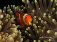 anemone fish RA 2501 copyright