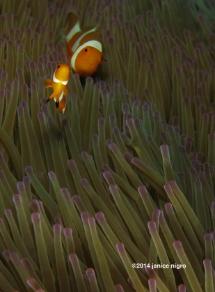 anemone fish RA 3205 copyright