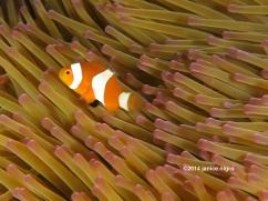 anemone fish RA 3211 copyright