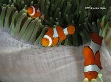 anemone fish RA 3240 copyright