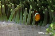 anemone fish RA 3242 copyright