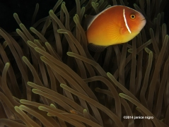anemone fish skunk RA 2816 copyright