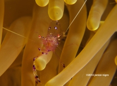 anemone shrimp K 4740 copyright