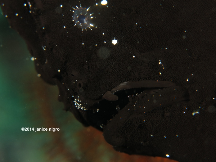 black frogfish 7714 copyright
