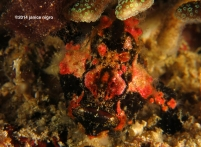 black frogfish M 6429 copyright