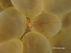 bubble coral shrimp K 5487 copyright