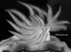bw nudibranch gills K 5391 copyright